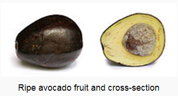 Avocados food for brain
