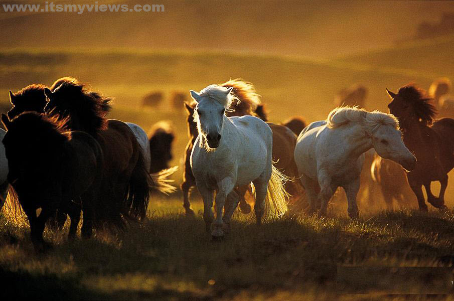 Horses-in-golden-glow