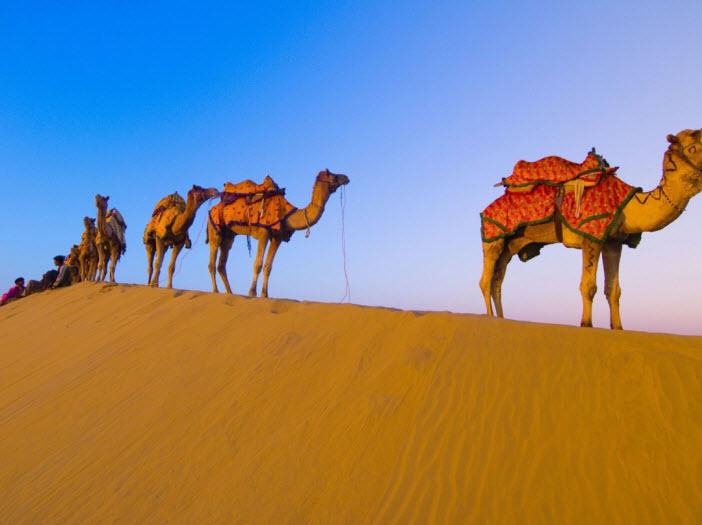 beautiful-desert-camel-wallpaper-2013