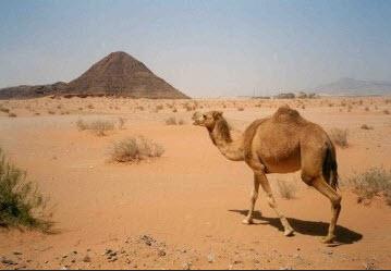 camel-in-desert-wallpaper-2013
