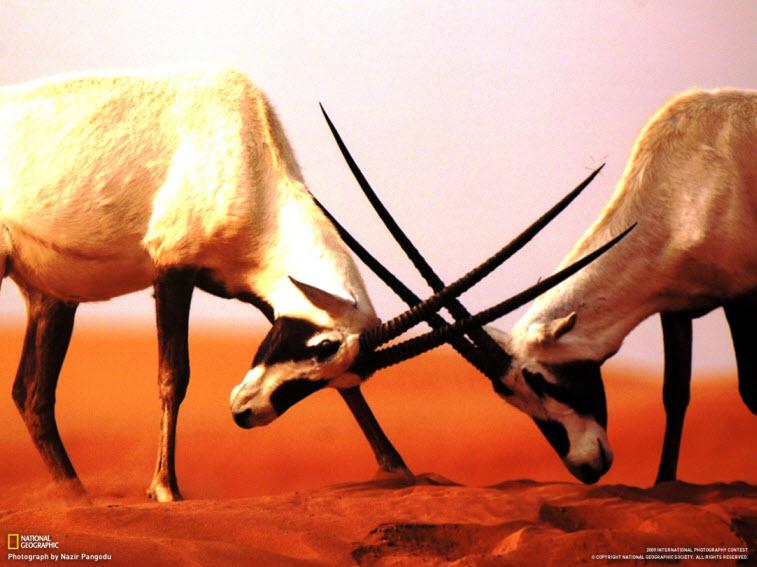 desert-animal-wallpaper-amazing-photography-in-desert