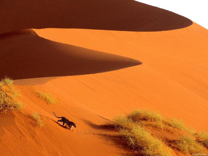 tiger-in-desert-and-in-desert-wallpaper