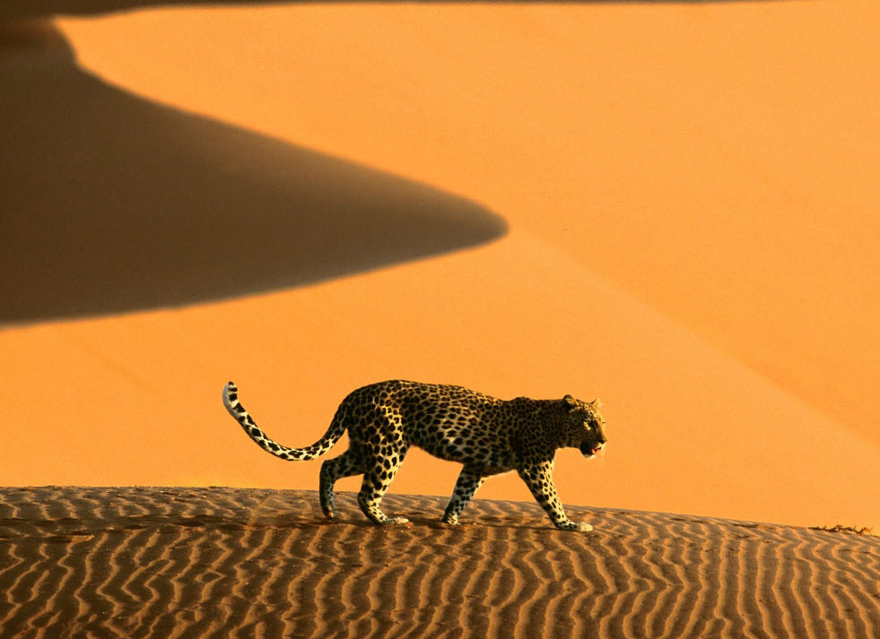 tiger-in-desert-beautiful-sand-desert-photography