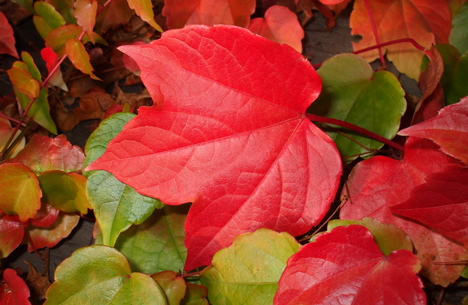Latest-red-color-Autumn-Leaves-2012-2013