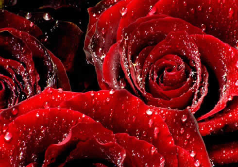 beautiful-red-color-rose-wallpaper-2012-2013