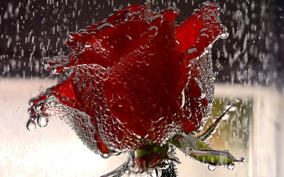 most-beautiful-red-rose-wallpaper-for-mobile