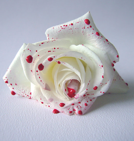 world-most-beautiful-white-color-rose-picture