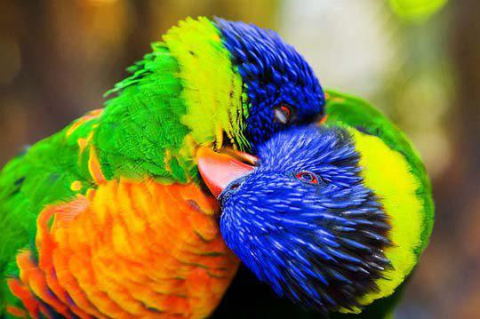 parrots-kissing-picture