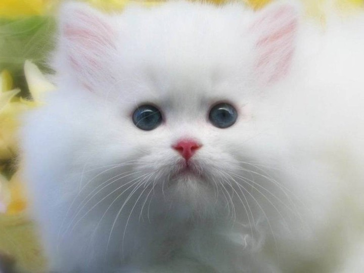 Beautiful-white-color-Cat-HD-widescreen-wallpaper-2012-2013