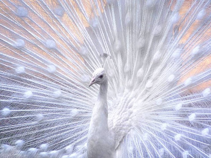Latest-white-color-Peacock-picture-HD-wide-screen-wallpaper-2012-2013