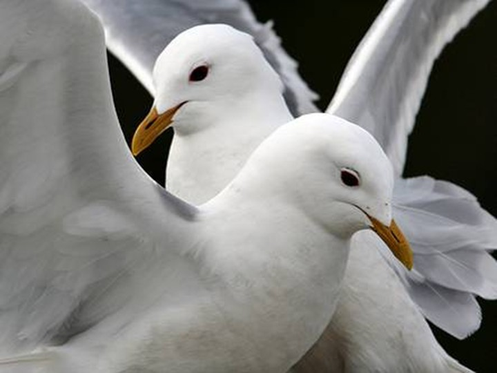 Pigeon Couple Wallpaper White-color-pigeon-bird-couple